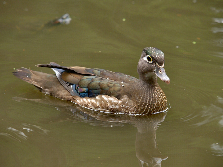 American Wood Duck (female)