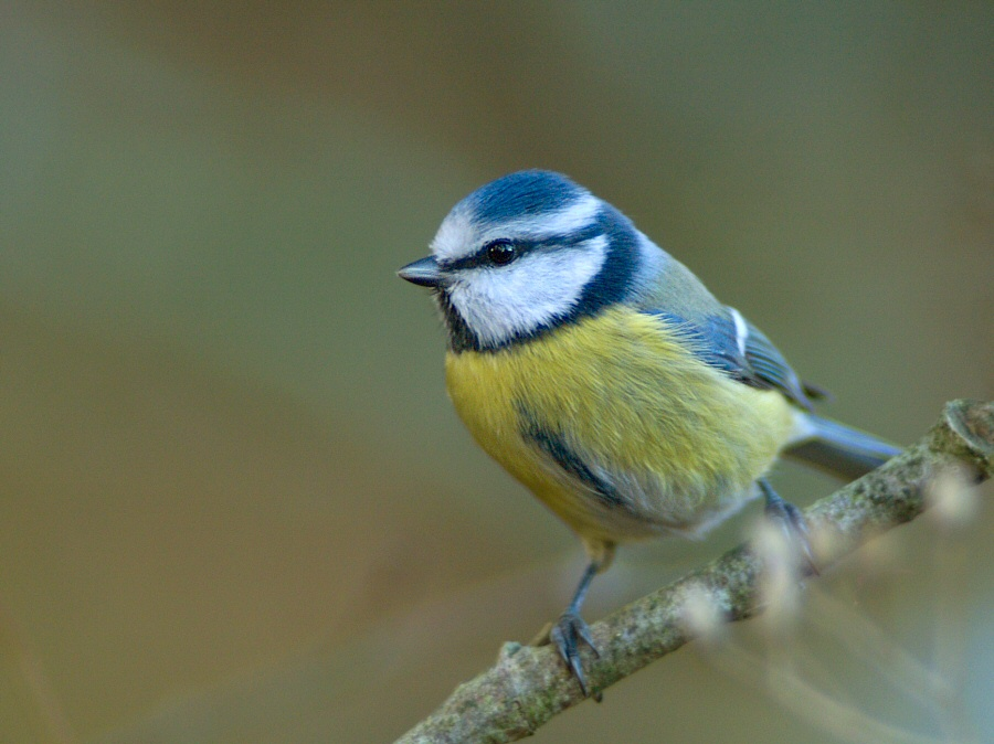 Blue Tit in my Garden