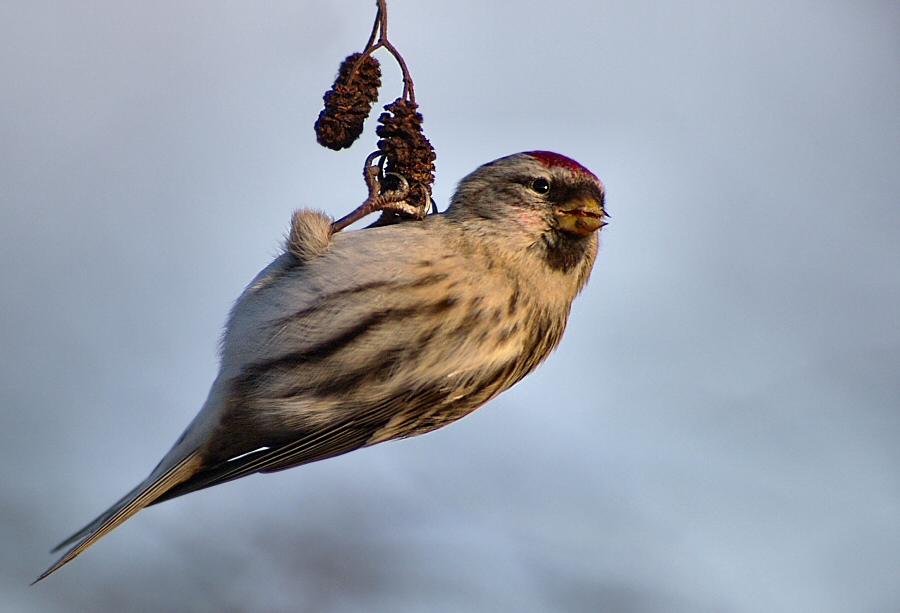 Redpoll look out!
