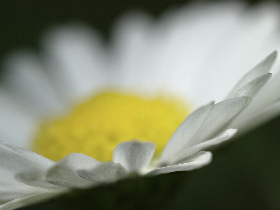 A Meadow Daisy Close Up