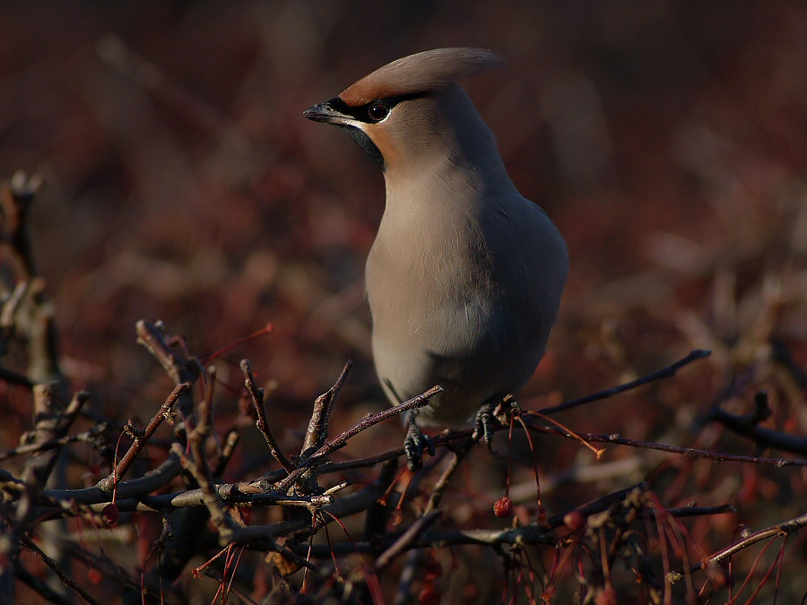 The last waxwing...