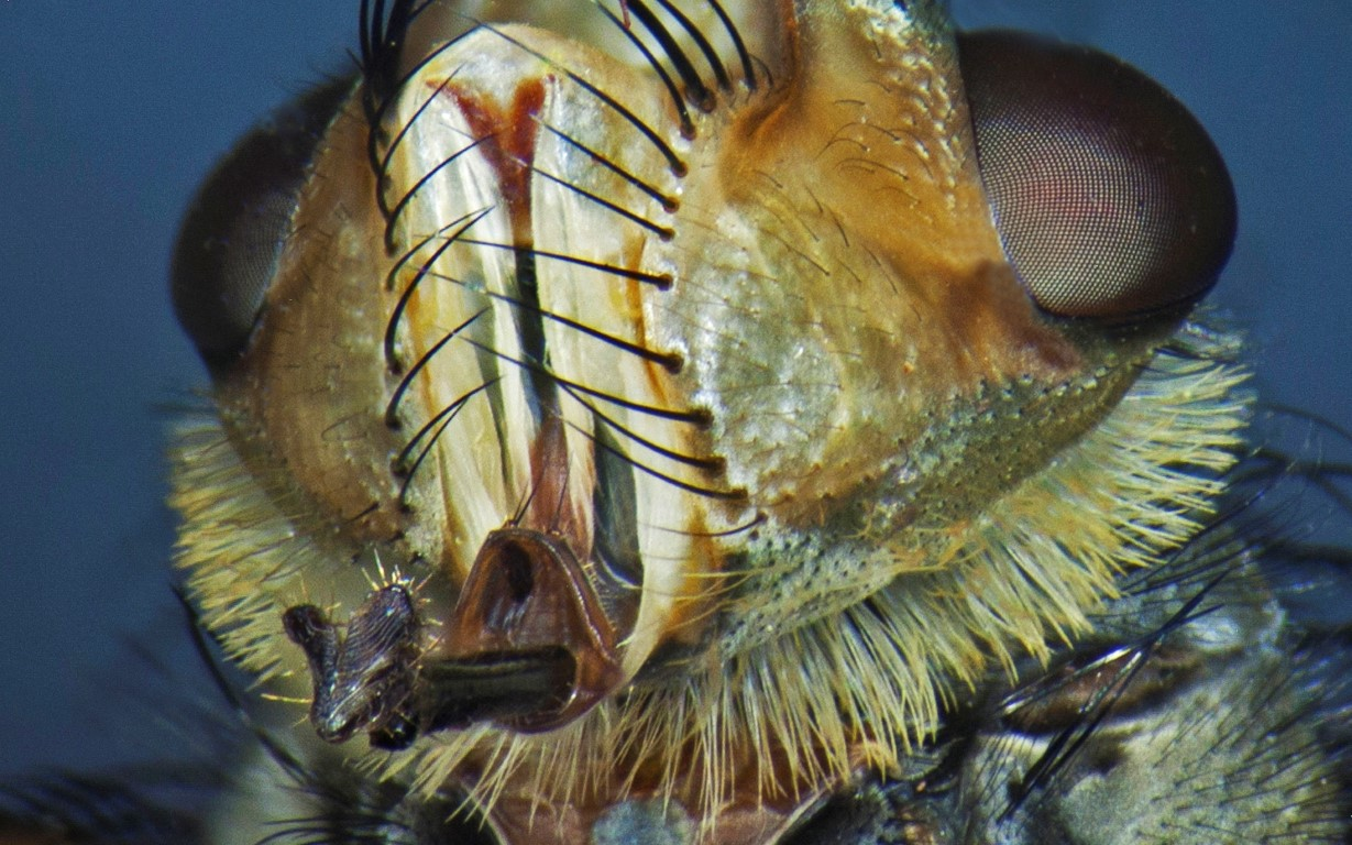 Super Macro of the face of a fly