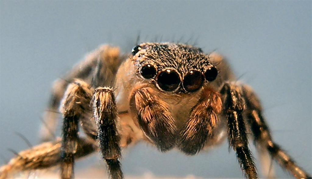 Jumping Spider - up close