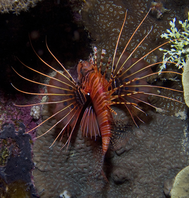 Spotfin Lionfish Hunting