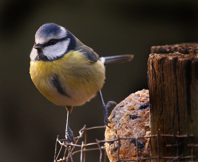 Blue Tit on Fat Ball