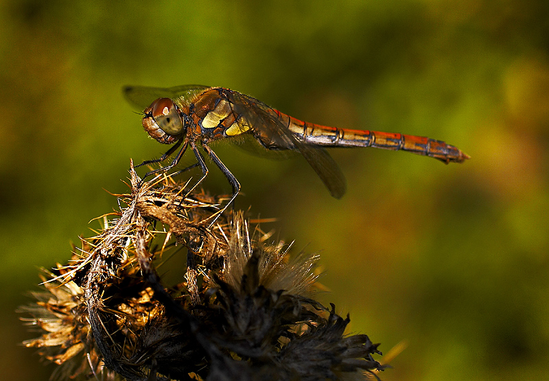 Common Darter - Late Afternoon