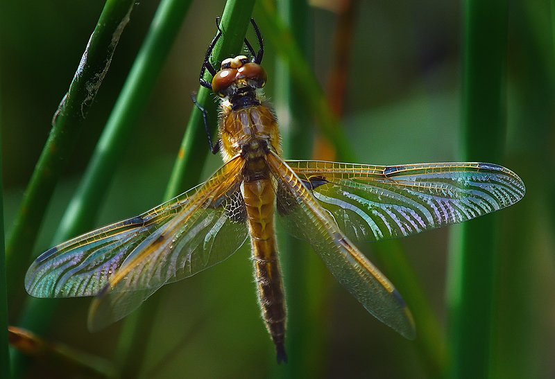 Teneral Male Four Spotted Chaser