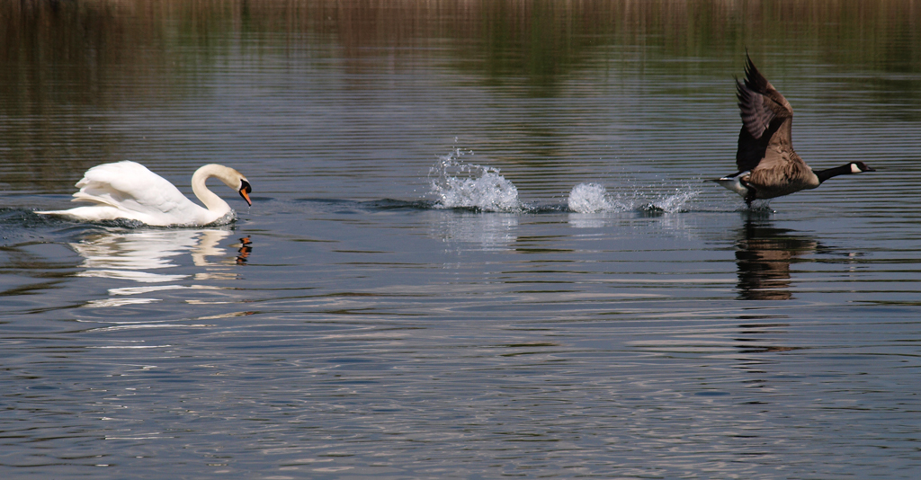 Angry swan chasing goose