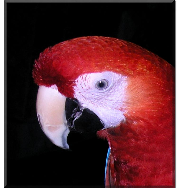 Lucky the pet macaw  #2