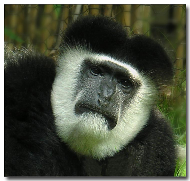 Portrait Of A Colobus Monkey
