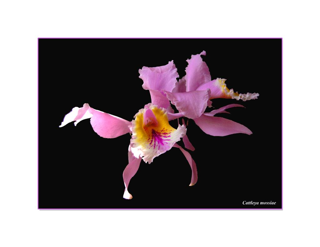 Cattleya mossiae