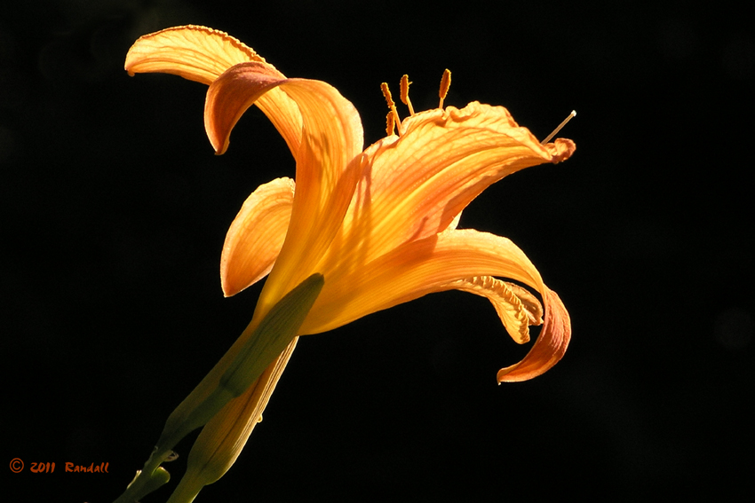 Sun Drenched Lily