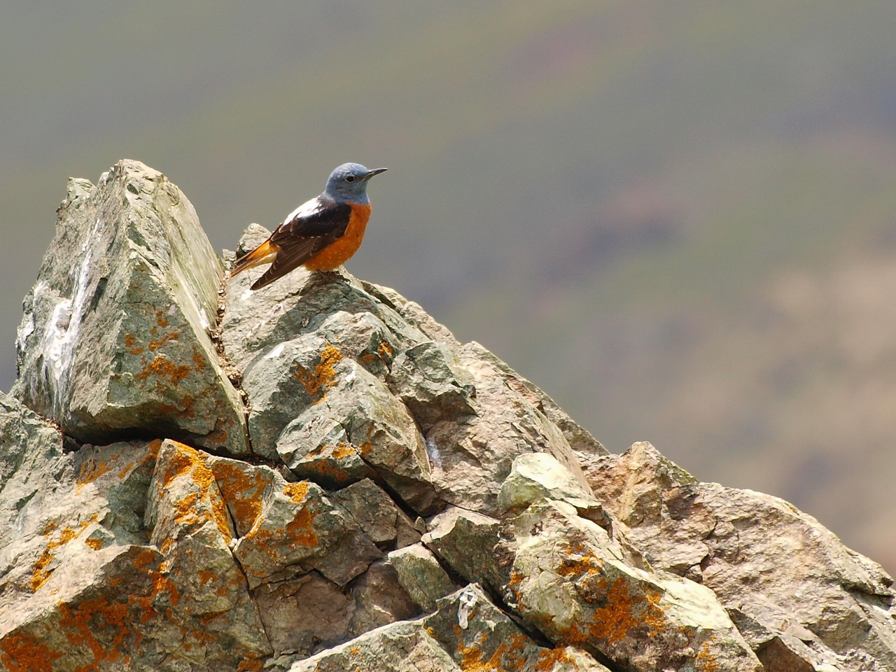 a male Rufous-tailed Rock-Thrush (Monticola Saxitilis)