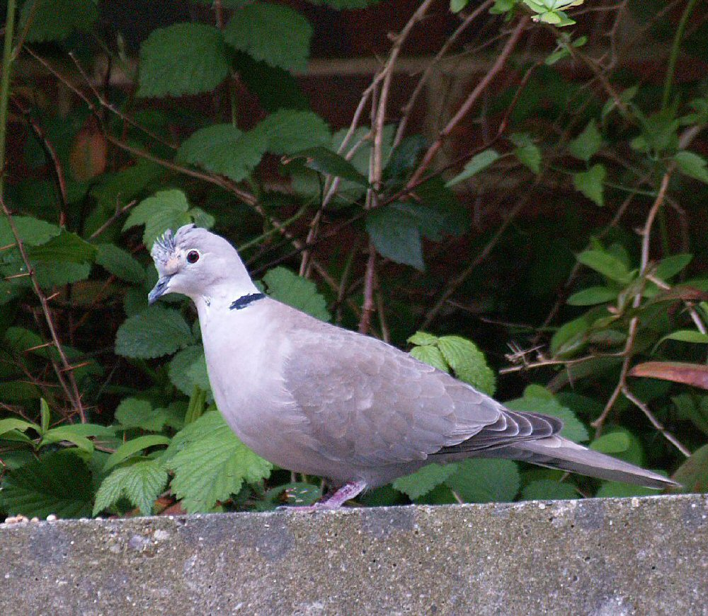 Collared Turtle Dove