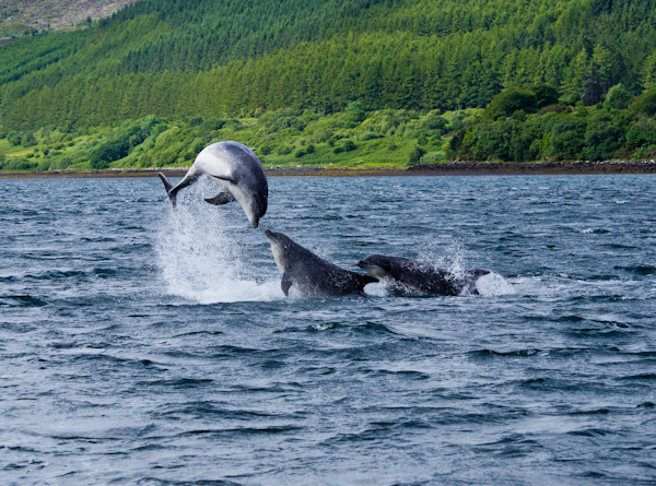 Dolphins in the Sound of Raasay.