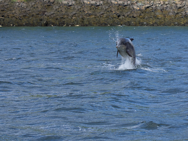Dolphin in Raasay Sound, Isle of Skye.