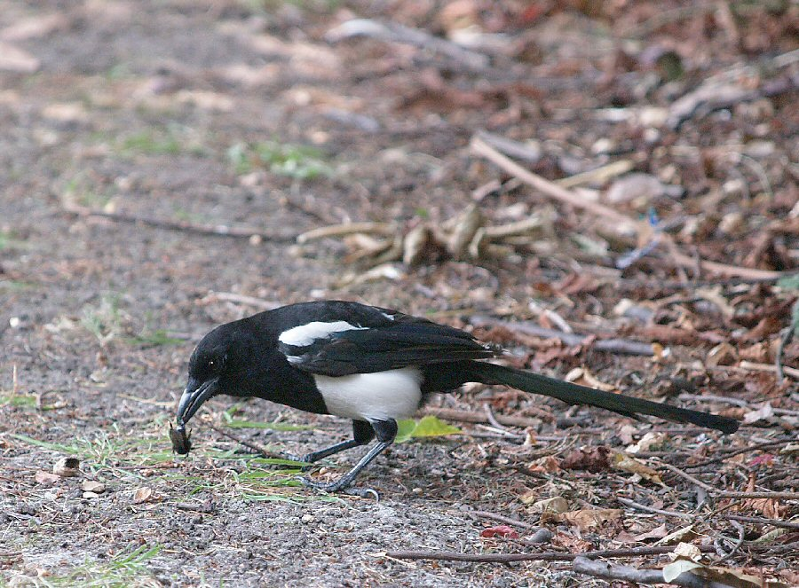 Magpie eating beetle.