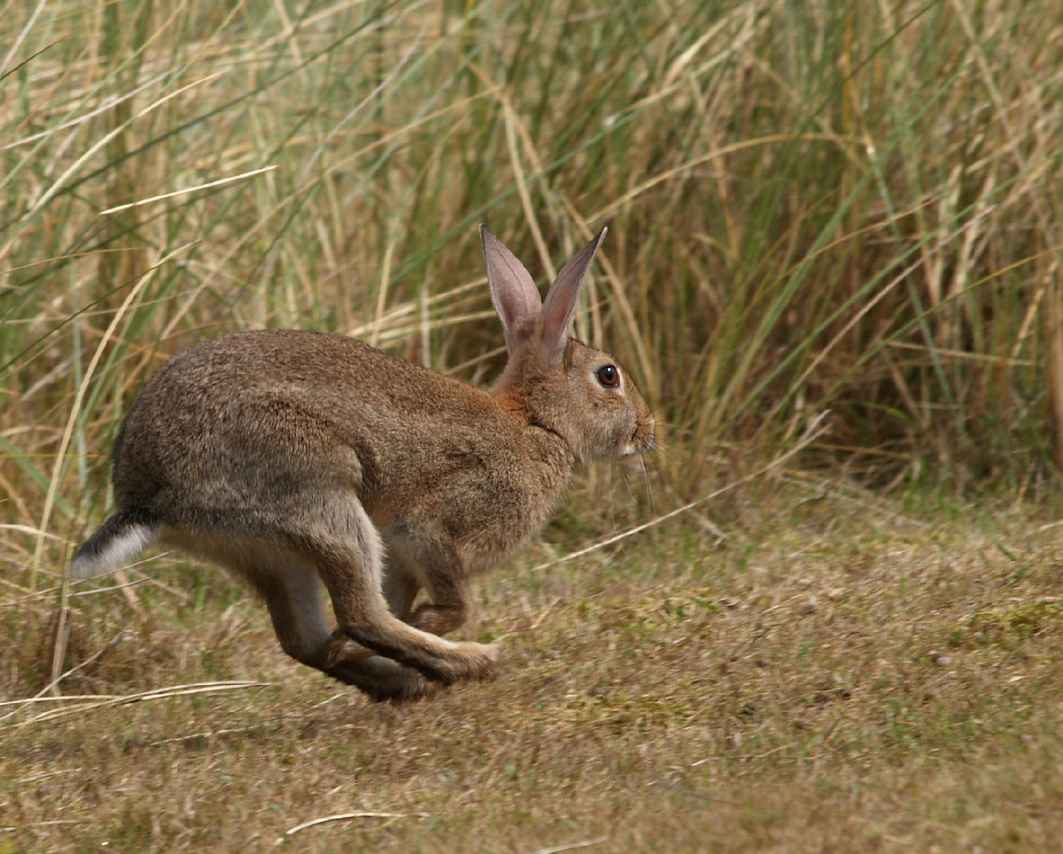 Running Rabbit? Hare?
