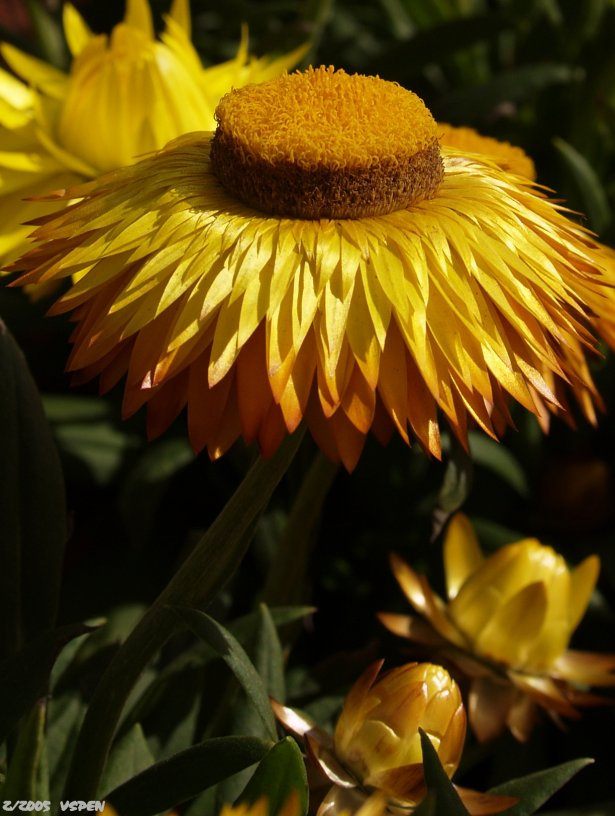 Paper Daisy - Strawflower
