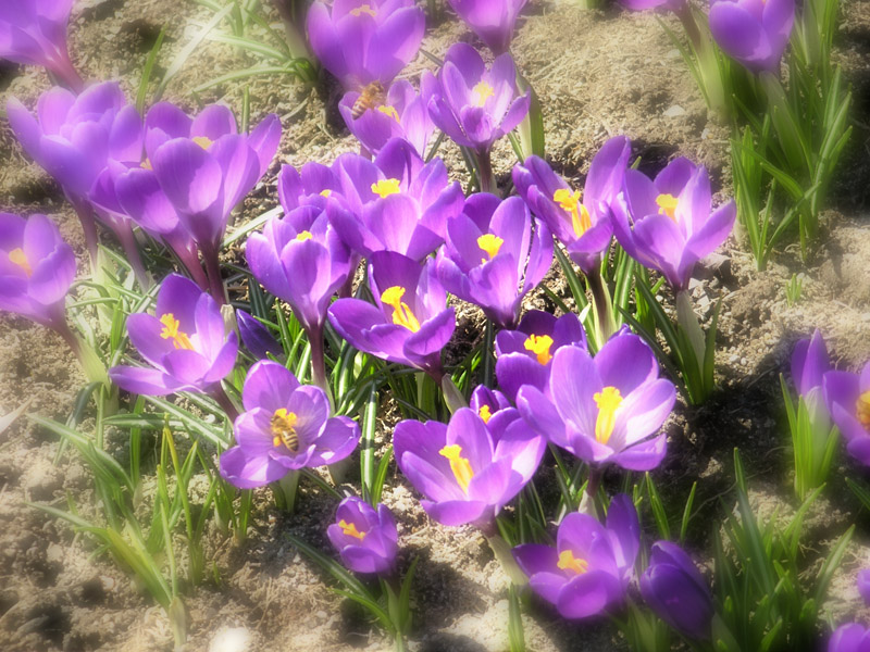 Crocus and Bees