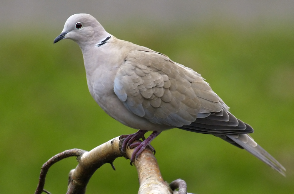 Collared Dove (Revised)