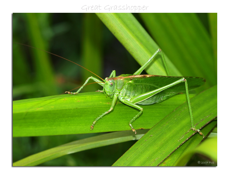 Great Green Grasshopper