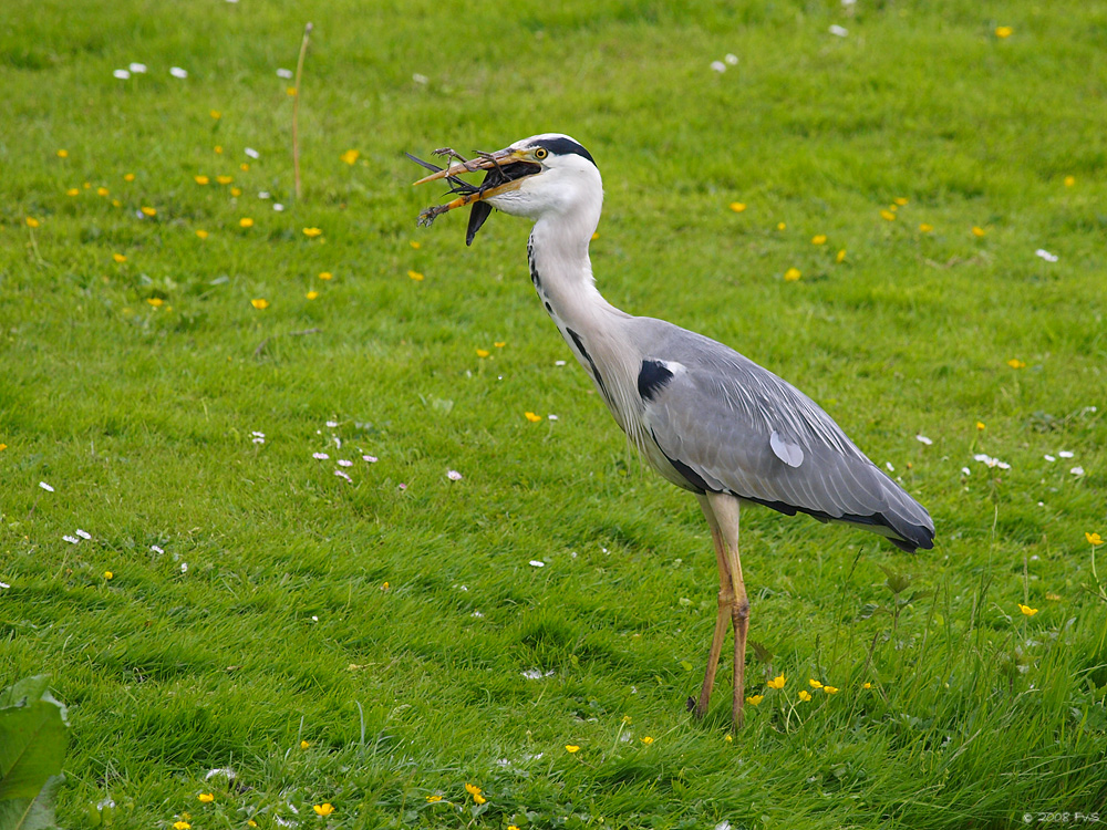 Grey Heron and catch