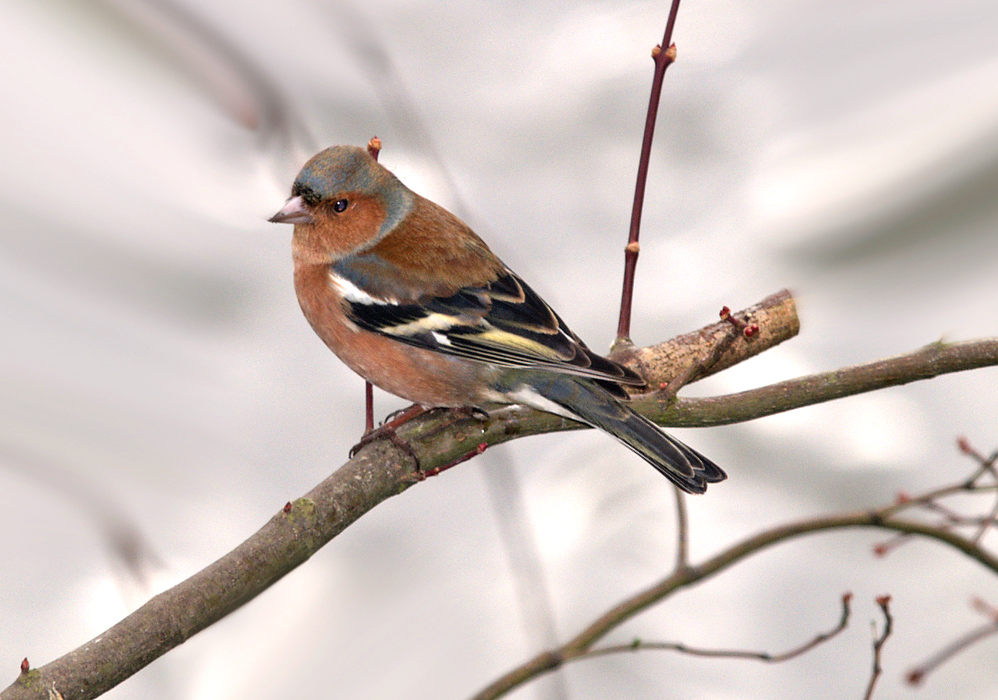Chaffinch for Adrie