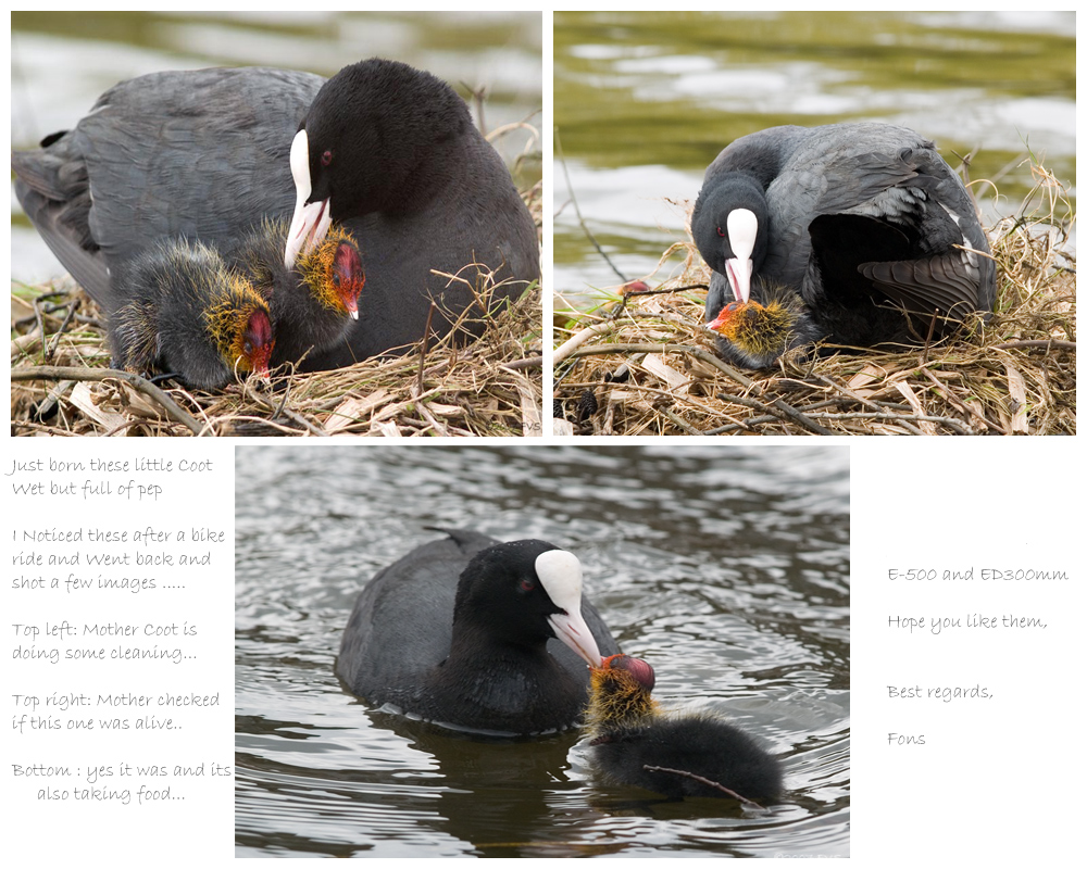 Coot series