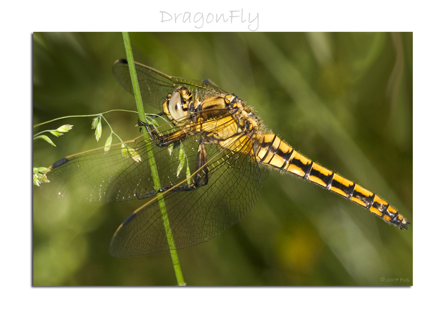 DragonFly (14)