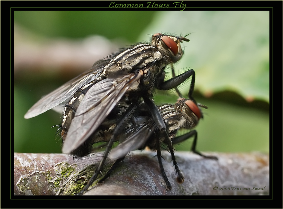 Common House Flies Mating
