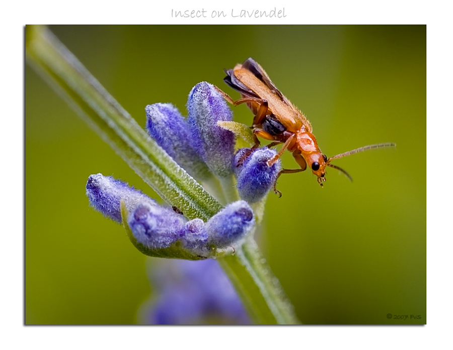 Insect on Lavendel