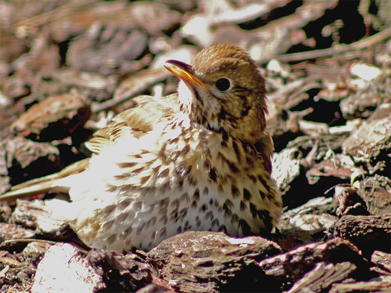 Song thrush warming up in the Sun