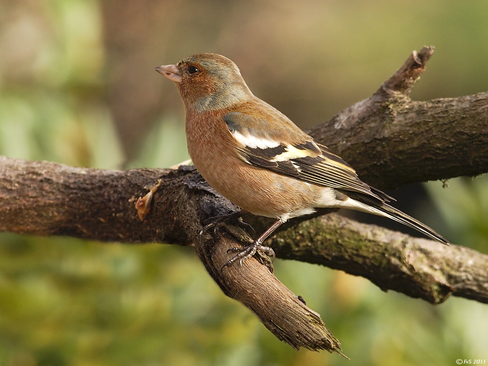CHAFFINCH(Male) II