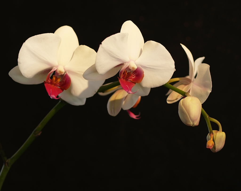 Orchid (4)
