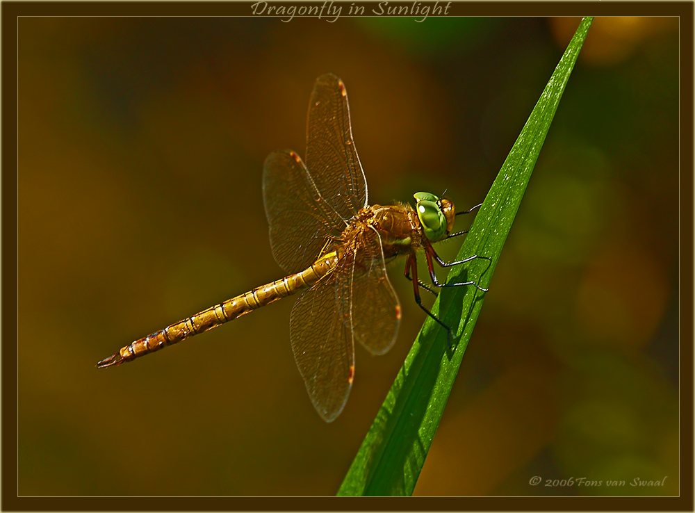 Dragonfly in the Sunlight