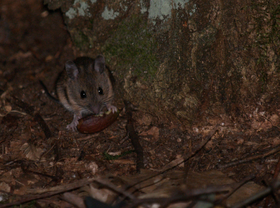 Little mouse in the forrest
