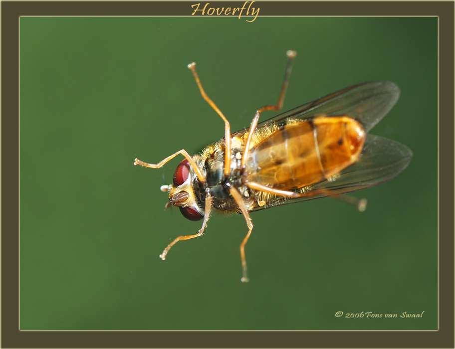 Hoverfly (4)
