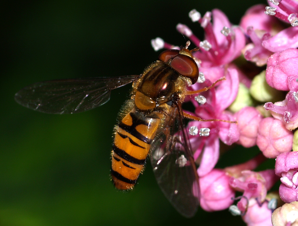 HovverFly on a Flower