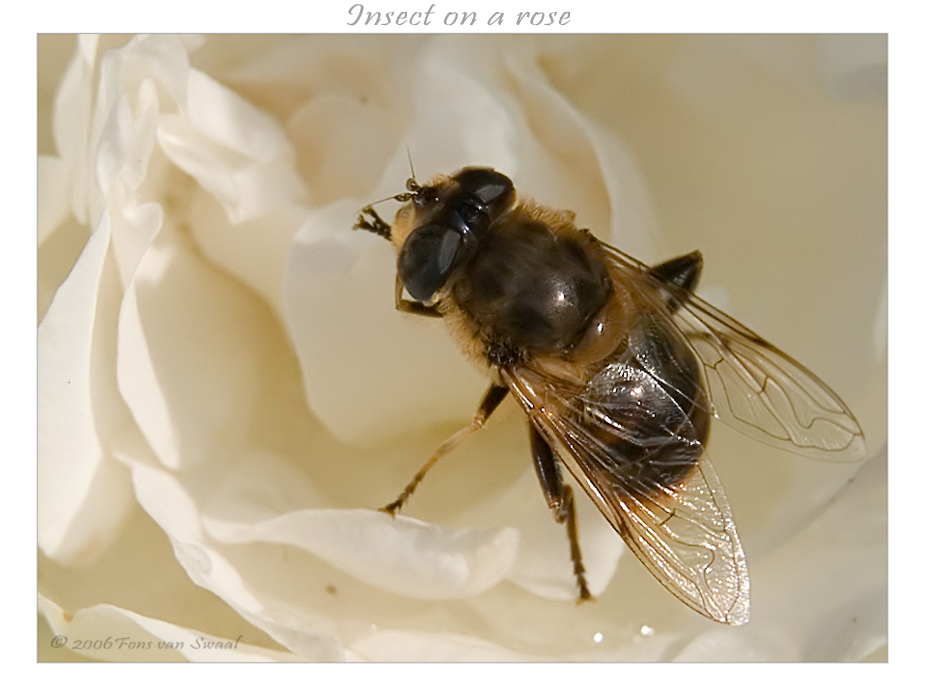 Insect on a Rose