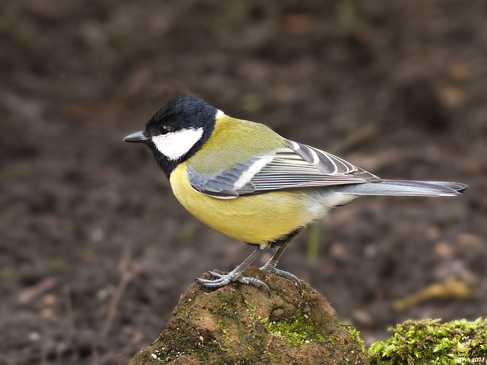 GREAT TIT (10)