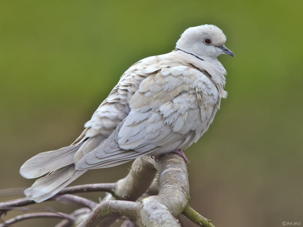Ring Necked Doves In The Us