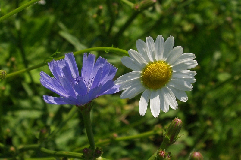 Camomile and Chicory