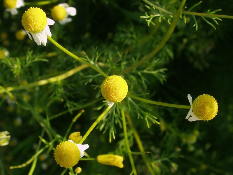 Camomile in the morning light