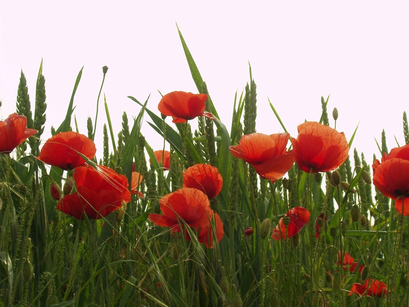 Poppies In Cornfield (Wheat)