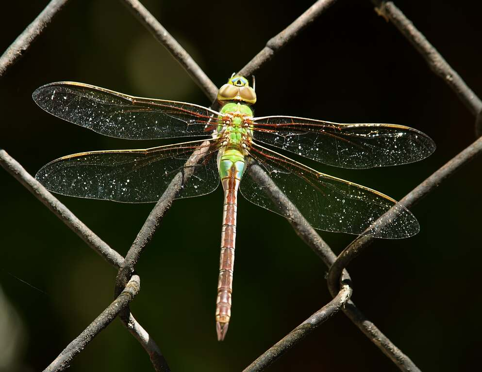 Dragonfly on fence