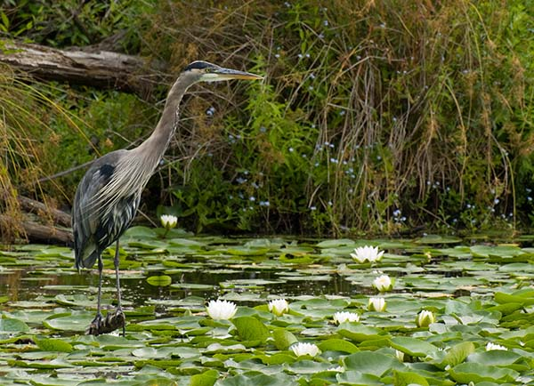 Grey Heron and Water Lilies