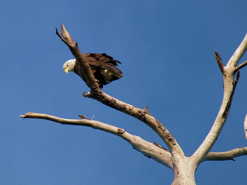 Bald Eagle (my first!)
