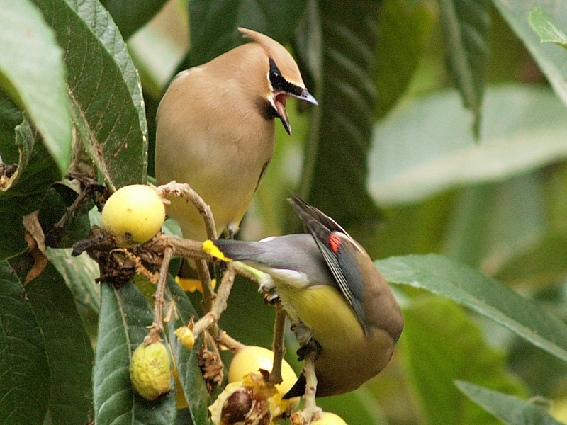 Cedar Wax Wings