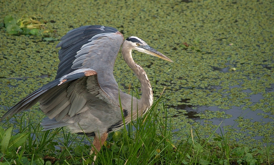Great Blue Heron - 16